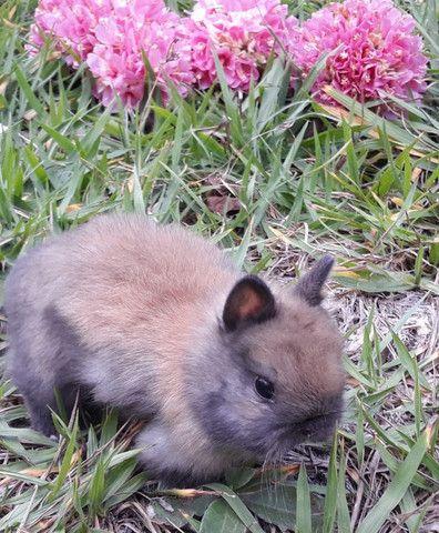 Mini coelhos Netherlands - Foto 5