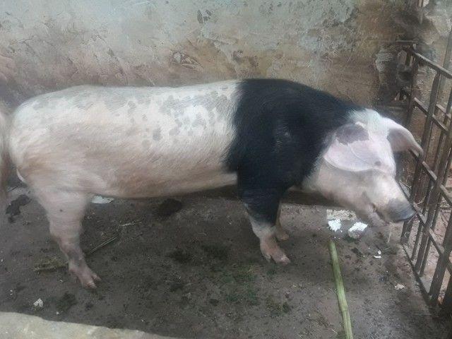 porcos - Foto 6