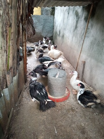 Patos paisandu - Foto 2