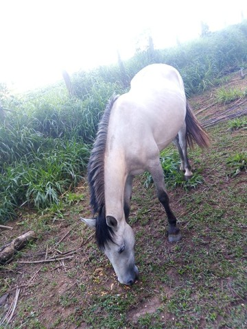 Vendo egua  mestiça criola e mangalarga troco por cavalo de corrida