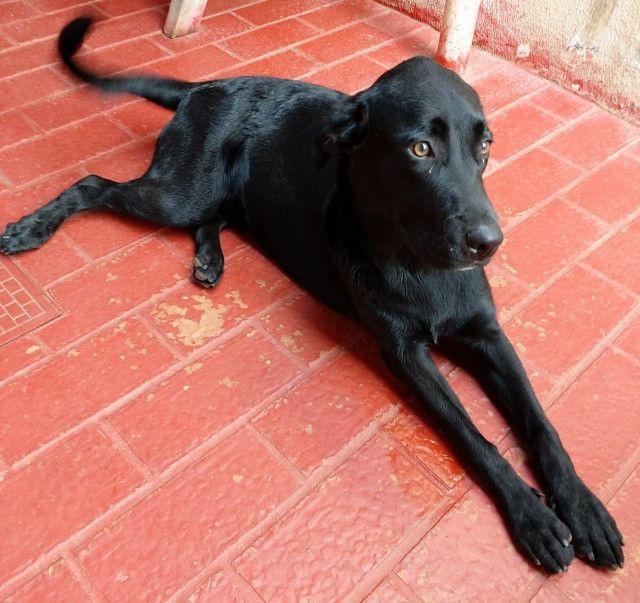 Labrador/Fêmea