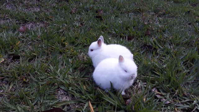 Mini coelhos Netherlands