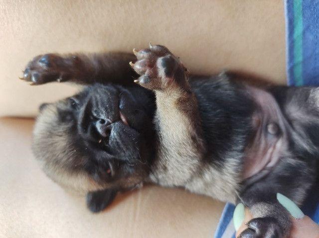 Filhotes Pug - Foto 4