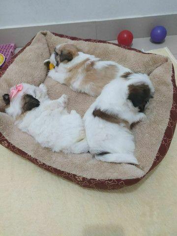 Lindos filhotes de mini Shih Tzu c acompanhamento veterinário grátis puros - Foto 3