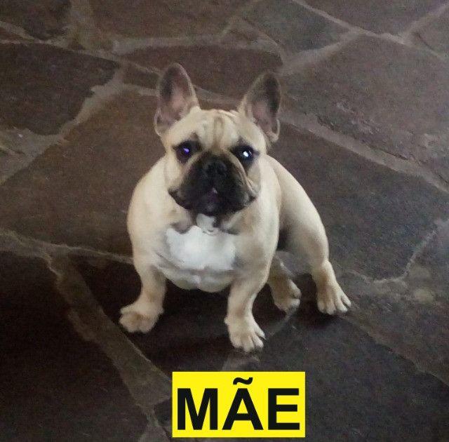 Bulldog Francês macho - Excelente padrão e porte - Último disponível - Foto 5