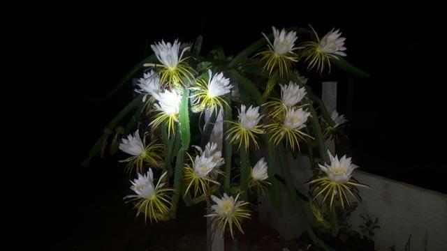 Pitaya Vermelha - Foto 2