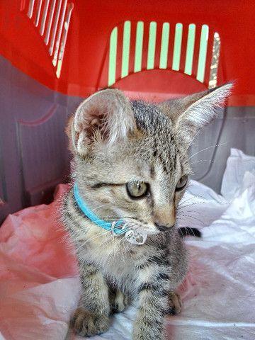 Adoção de gato filhote - Foto 5