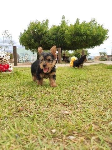 Yorkshire terrier disponível hoje  - Foto 5