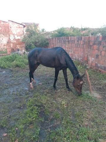 Vendo Cavalo ligeiro e estradeiro e bom pra prado - Foto 2