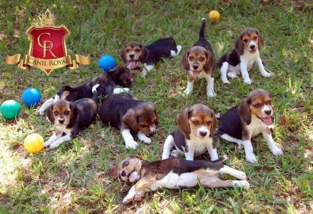 Beagle - Foto 5