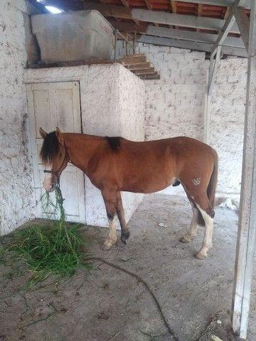 Vendo cavalo crioulo gateado  - Foto 2