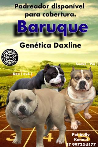 American Bully - Pocket - Abkc - Dax line