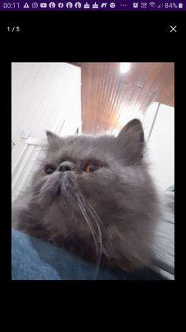 Gato Persa  disponível para a cruza - Foto 2