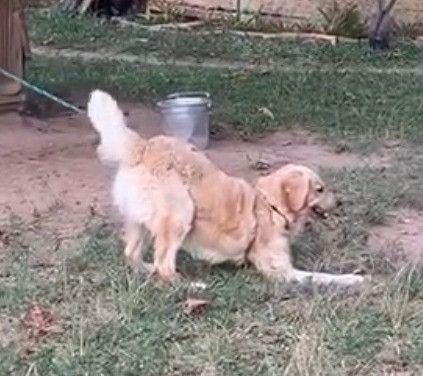 Vende-se Golden Retriever Puro Adulto - Foto 2