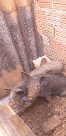 Casal de porco