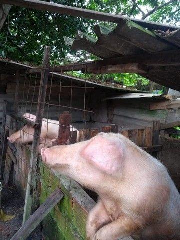 Vende-se um casal de porco