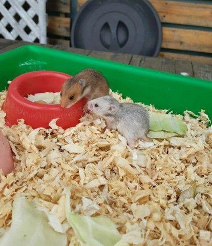 Filhotes de hamster  - Foto 3