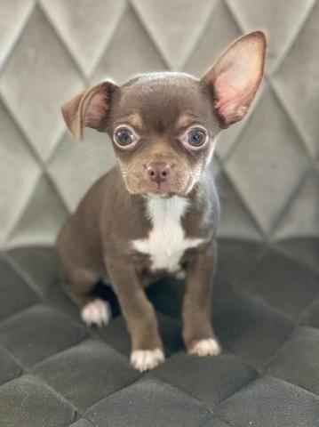 Chihuahua os mais perfeitos Cores raras Whats 054999346363 - Foto 3