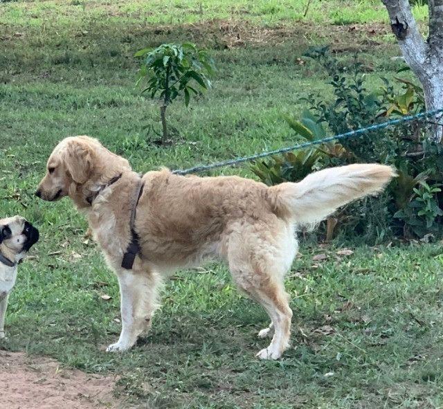 Vende-se Golden Retriever Puro Adulto - Foto 3