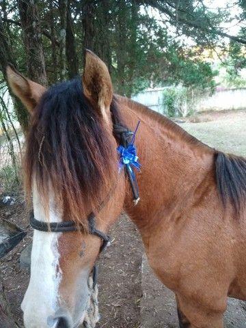 Vendo cavalo crioulo gateado  - Foto 3
