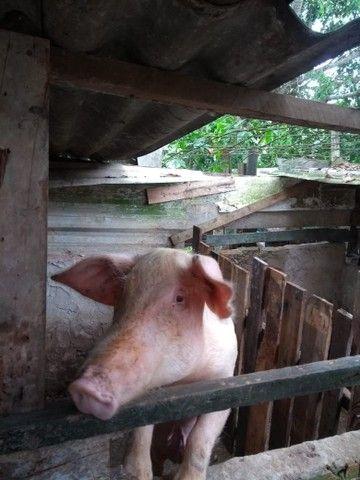Vende-se um casal de porco  - Foto 2
