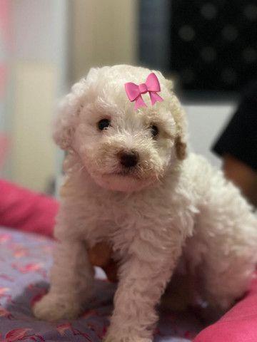 Poodle toy femea - Foto 4