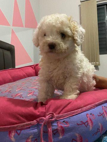 Poodle toy femea - Foto 5