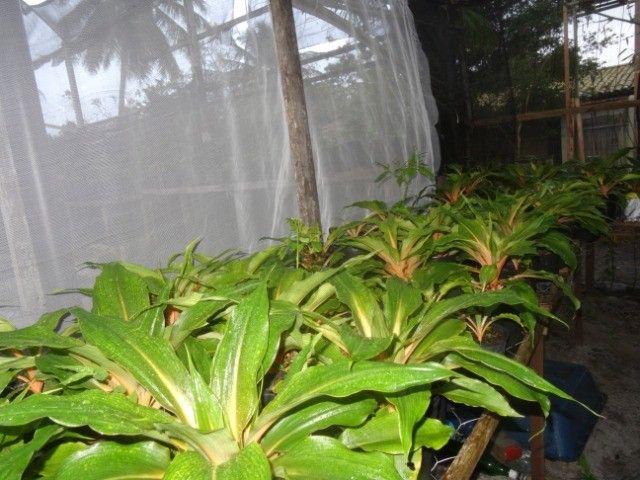 Plantas Lúminas (Chlorophytum orchidastrum). R$ 25 a unidade - Foto 5