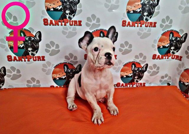 Bulldog Francês Filhote Fêmea 12x sem Juros - Foto 2