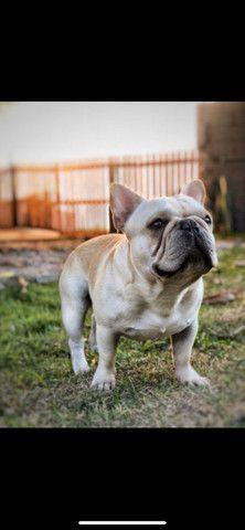 Buldogue para Monta, com pedigree CBKC - Foto 6