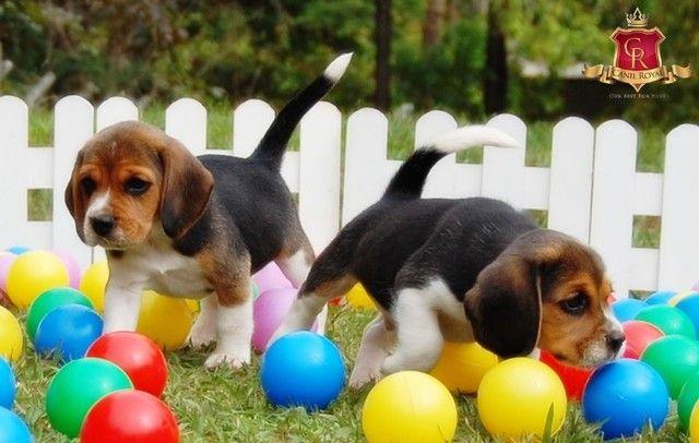Beagle - Foto 2
