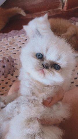 Filhotes de Gatos Persa - Foto 3