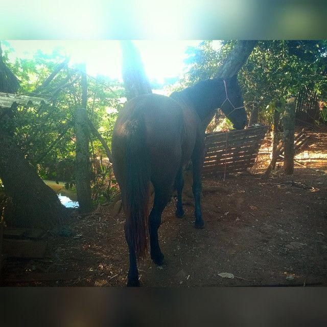 Égua qm a venda - Foto 4