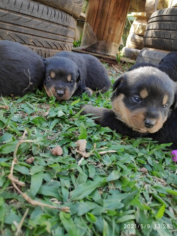 Filhotes de Rottweiler - Linhagem TOP!!
