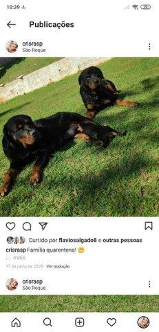 Filhotes de Rottweiler - Linhagem TOP!!  - Foto 4