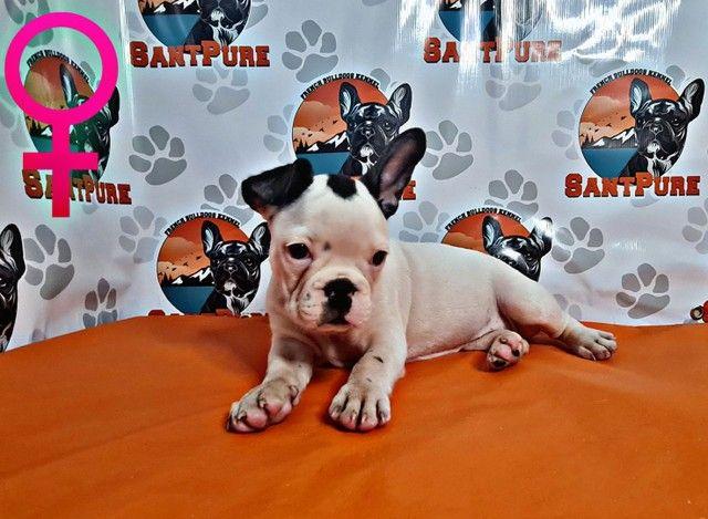 Bulldog Francês Filhote Fêmea 12x sem Juros