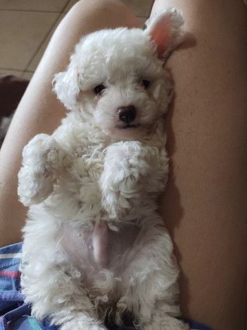 Filhote mini poodle - Foto 3