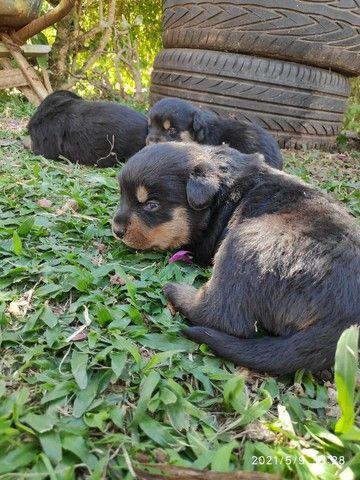 Filhotes de Rottweiler - Linhagem TOP!!  - Foto 3