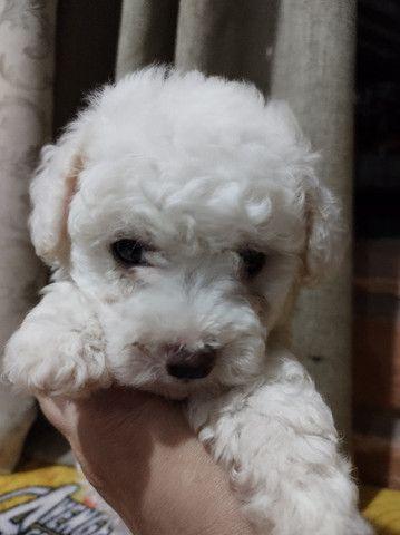 Filhote mini poodle - Foto 4