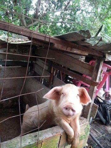 Vende-se um casal de porco  - Foto 3