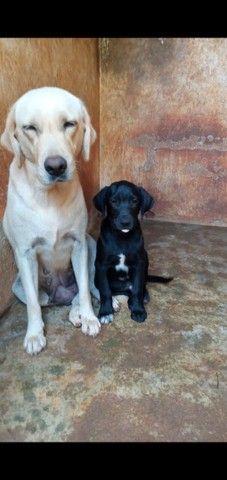 Cachorro labrador 5 meses fêmea