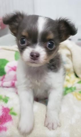Chihuahua os mais perfeitos Cores raras Whats 054999346363 - Foto 5