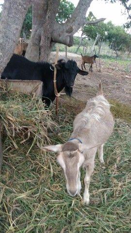 Vendas De Cabras - Foto 6