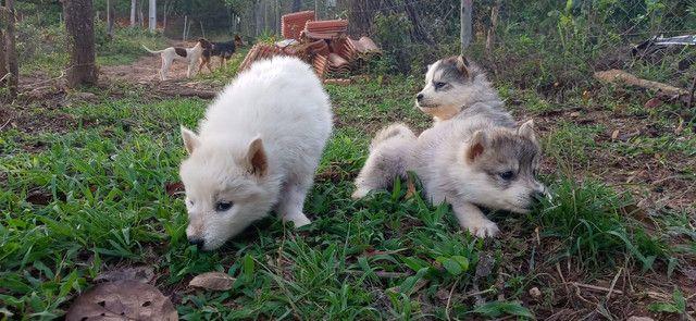 Husky siberiano - Foto 5