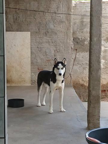 Husky Siberiano - Foto 3