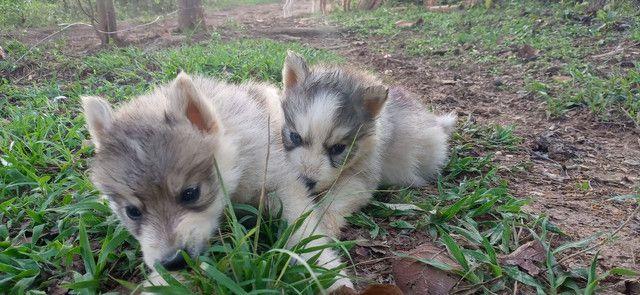 Husky siberiano - Foto 2
