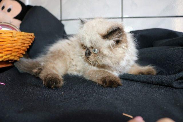 Lindíssima gata Persa Himalaia - Foto 4