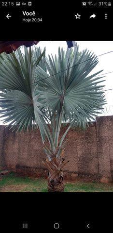 Palmeira Bismak ( palmeira azul) - Foto 2