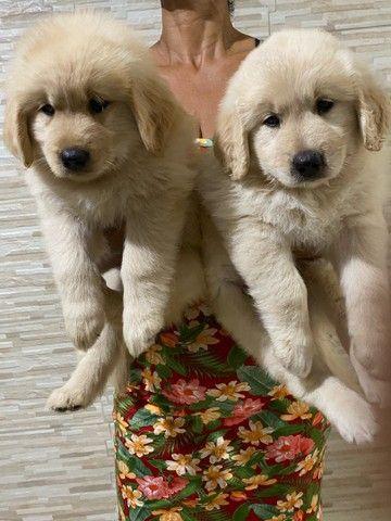 Goldens Retriever com pedigree - Foto 4