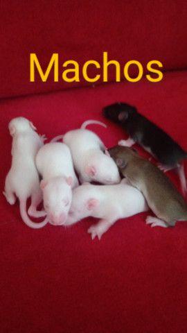 Vendo Ratos - Foto 2